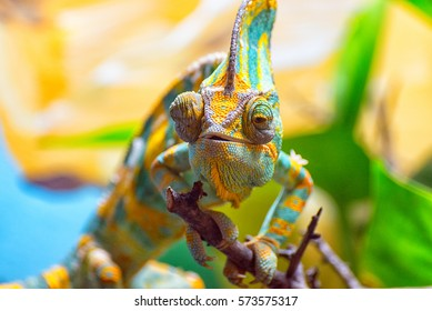 The colorful Chameleon runs slowly on a branch