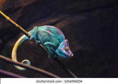 Colorful chameleon turquoise and purple color sleeping on a branch. Reptile lizard on black background. Zoo terrarium.