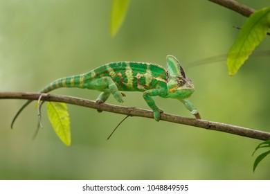 Colorful chameleon walking on tree branch with green background. Yemen chameleon lizard.