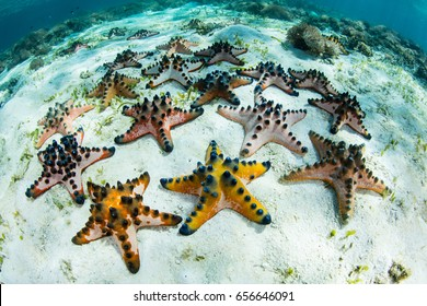 Colorful Chocolate chip starfish live in a seagrass meadow in Komodo National Park, Indonesia. This tropical region is extremely biodiverse and is a popular destination for snorkelers and divers.