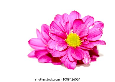the Colorful chrysanthemum