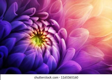 Colorful chrysanthemum flower macro shot. Chrysanthemum yellow, red, purple color flower background.