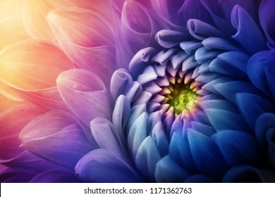 Colorful chrysanthemum flower macro shot. Chrysanthemum yellow, red, purple color flower background.