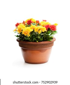 Colorful  chrysanthemum flowers in flowerpot isolated