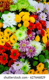 Colorful Chrysanthemum flowers growth in huge Dutch greenhouse, flowers for shops and auctions world wide delivery