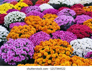 Colorful chrysanthemum flowers for sale at the market, traditional flowers for the Day of the Dead in Europe.