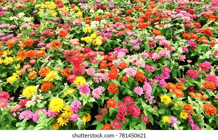 Colorful Chrysanthemum in the Park