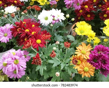 Colorful Chrysanthemum for sale in the market