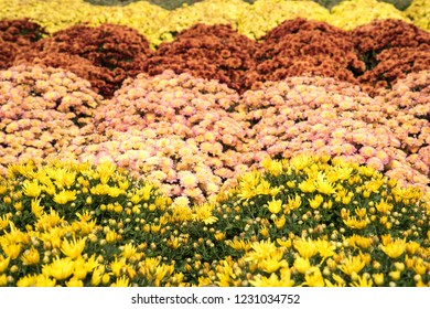 Colorful chrysanthemums on display.