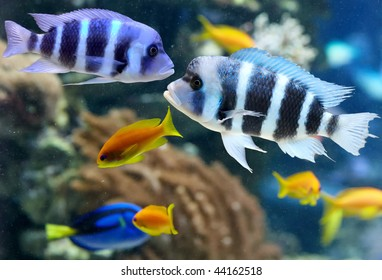 Colorful cichlid from lake malawi, Africa