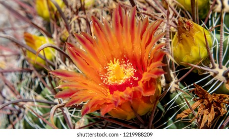 Colorful close up of a Barrel Cactus and it's beautiful orange, red and yellow flowers on a green succulent base with yellow buds and barbed fishhook like thorns. Tucson, Arizona. Summer of 2018.