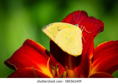 A colorful Cloudless Sulphur Phoebis Sennae butterfly sitting on a red Lily.