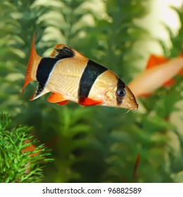 Colorful Clown Loach Fish - Botia macracanthus