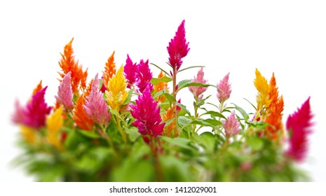 Colorful Cockscomb, Celosia cristata, flowers isolated on a white background with shallow depth of field effect.
