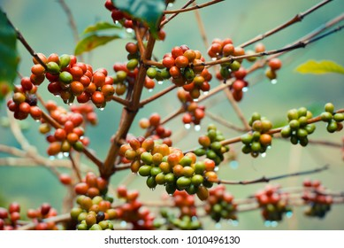 Colorful of coffee beans on the trees in farm at the morning, Doi Chang coffee village, Thailand.