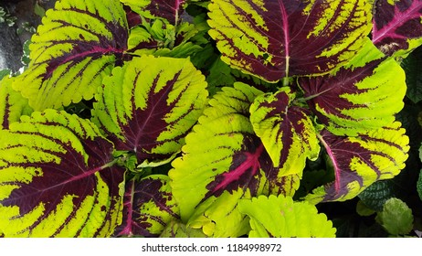 Colorful coleus. Background of beautiful coleus plant leaves.