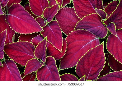 colorful coleus leaves