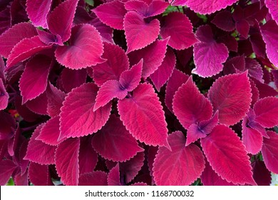 colorful coleus leaves background