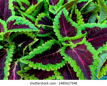 Colorful coleus plant with green and violet leafs
