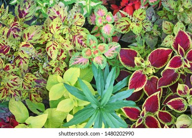 Colorful coleus wizard plants in summer at garden of dreams, Kathmandu, Nepal. Beautiful Nature background wallpaper. Autumn, Spring, Summer, Garden, Outdoor concept.
