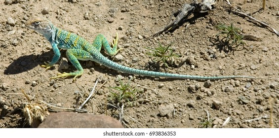 A colorful Collard Lizard in the American Southwest