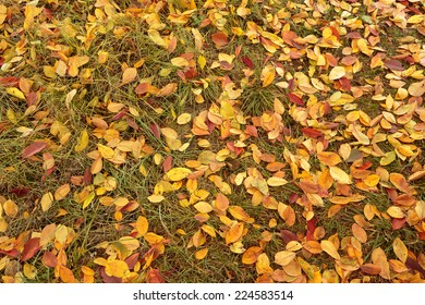 Colorful colored autumn leaves background - october cherry tree foliage