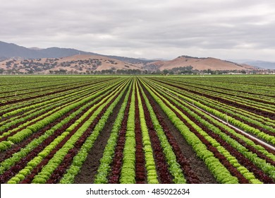 Colorful (colourful) fields of lettuce crops (plants), including green, red and purple varieties, grow in rows in Salinas Valley of Central California, with background rolling hills (foothills).