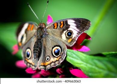 A colorful Common Buckeye Junonia Coenia butterfly.
