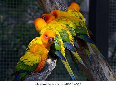 colorful conure,birds,parrots