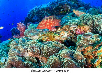 Colorful Coral Grouper on a healthy,vibrant tropical coral reef