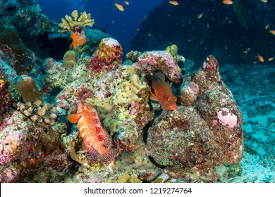 A colorful Coral Grouper on a tropical coral reef in Thailand