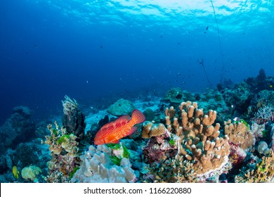 A colorful Coral Grouper swimming along a tropical reef