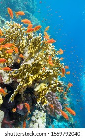 Colorful coral reef at the bottom of tropical sea, yellow fire coral and anthias fishes, underwater landscape