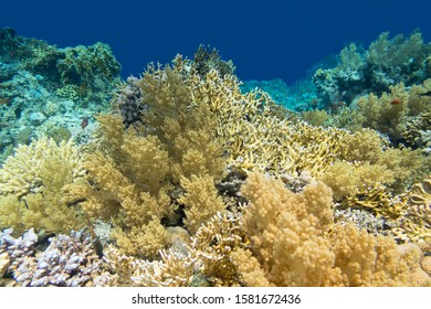 Colorful coral reef at the bottom of tropical sea, yellow fire coral broccoli coral, underwater landscape