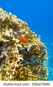 Colorful coral reef at the bottom of tropical sea, yellow fire coral and anthias fish, underwater landscape