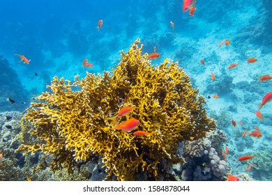 Colorful coral reef at the bottom of tropical sea, yellow fire coral and shoal of anthias fishes, underwater landscape