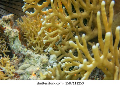 Colorful coral reef at the bottom of tropical sea with coral fish. Yellow fire coral and shoal of anthias fishes, underwater landscape. Coral reef with exotic fishes at bottom of colorful tropical sea