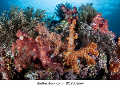 A colorful coral reef thrives on Cabilao Island, the Philippines. The Philippine Islands are part of the Coral Triangle due to its amazing marine biodiversity.