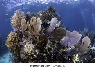 Colorful coral se fans with blue water background in Key Largo, Florida. - Shutterstock ID 109386737
