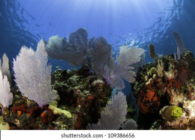 Colorful coral sea fans with blue water background and sun beams shining through the surface in Key Largo, Florida.