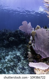 Colorful coral sea fans with blue water background in Key Largo, Florida.