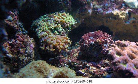 Colorful Corals Polyps on Shallow Water Coral Reef Close-up