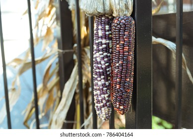 Colorful corn hanging from the metal fence