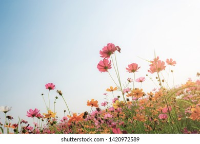 Colorful of cosmos with the beautiful on field at sunlight.