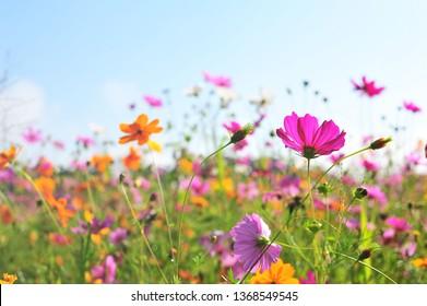 Colorful Cosmos Flower Garden Blooming in Spring Season