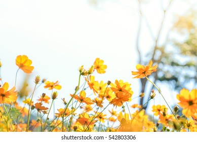 The colorful Cosmos flower in garden on sunshine day with blue sky is background.