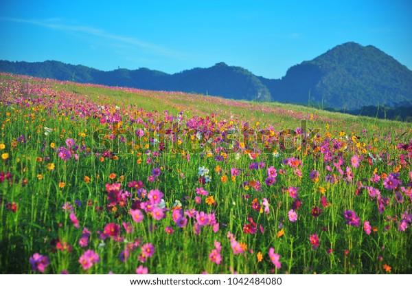 Colorful Cosmos Flower in Spring Season