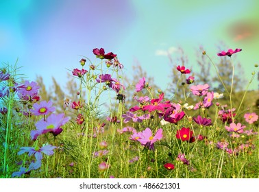 Colorful cosmos flowers blur background