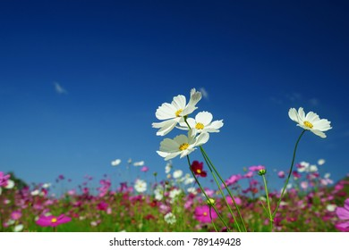 Colorful cosmos flowers field