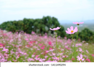 Colorful of Cosmos flowers garden